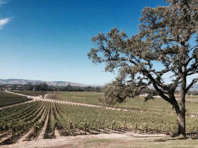 A vineyard in Sonoma, California